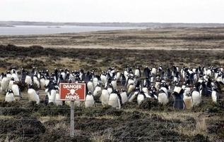 Пингвинам мины не страшны