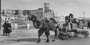 На верблюжьей тяге